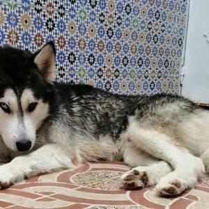 Tunis-animaux-Haski