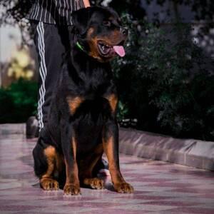 Monastir-animaux-chien-Rottweiler-a-vendre-avec-ses-accessoires-et
