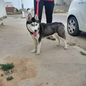 Sfax-animaux-Husky