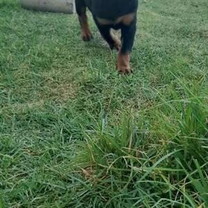 Ben-Arous-animaux-Rottweiler
